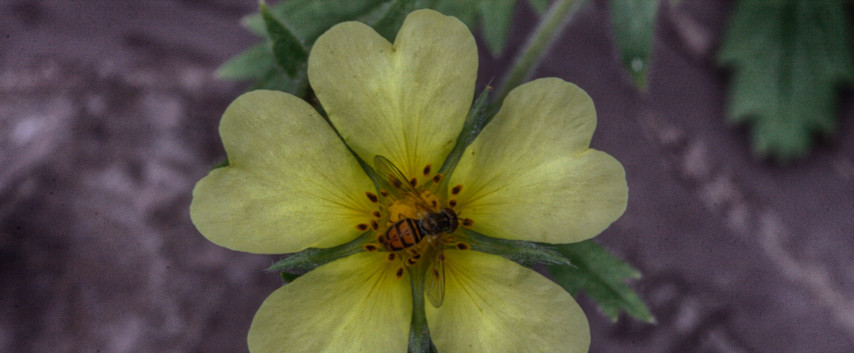 A Cinquefoil & A Bee