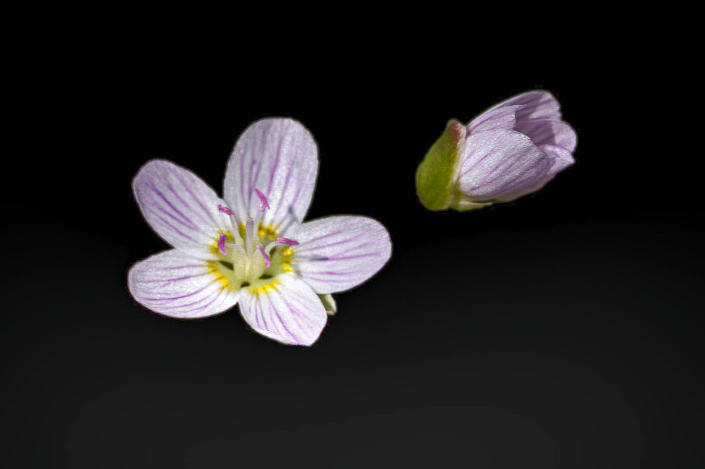 A Virginia Springbeauty And Blossom