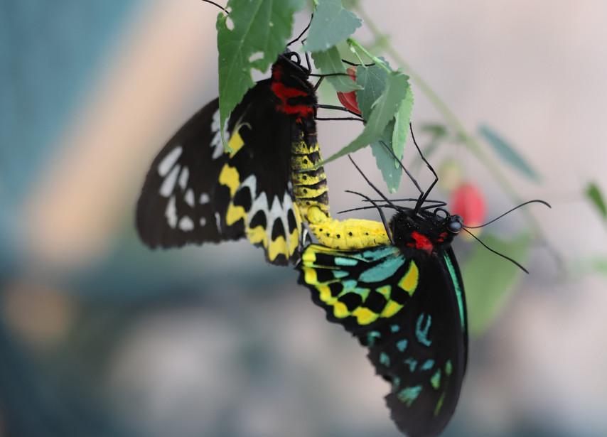 A Male & A Female Cairns Birdwing