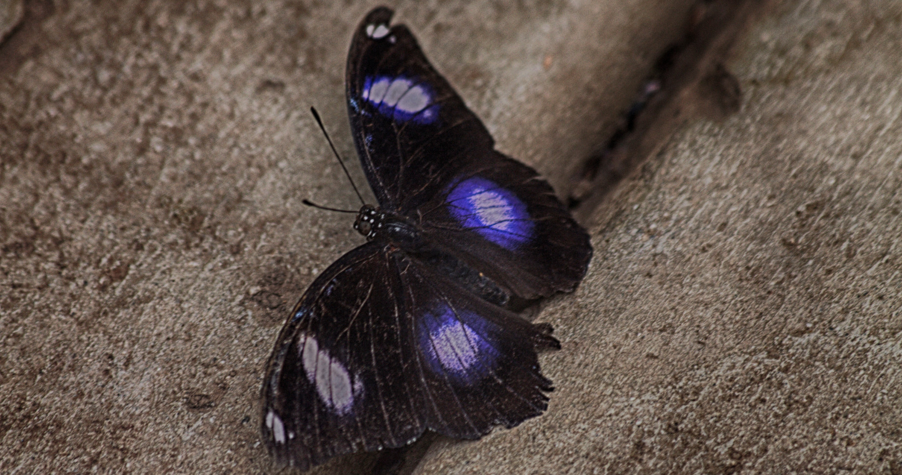 A Handsome Eggfly