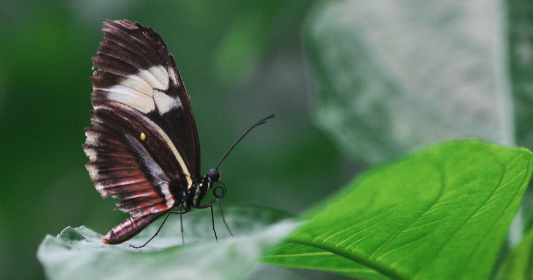 A Longwing Up Close