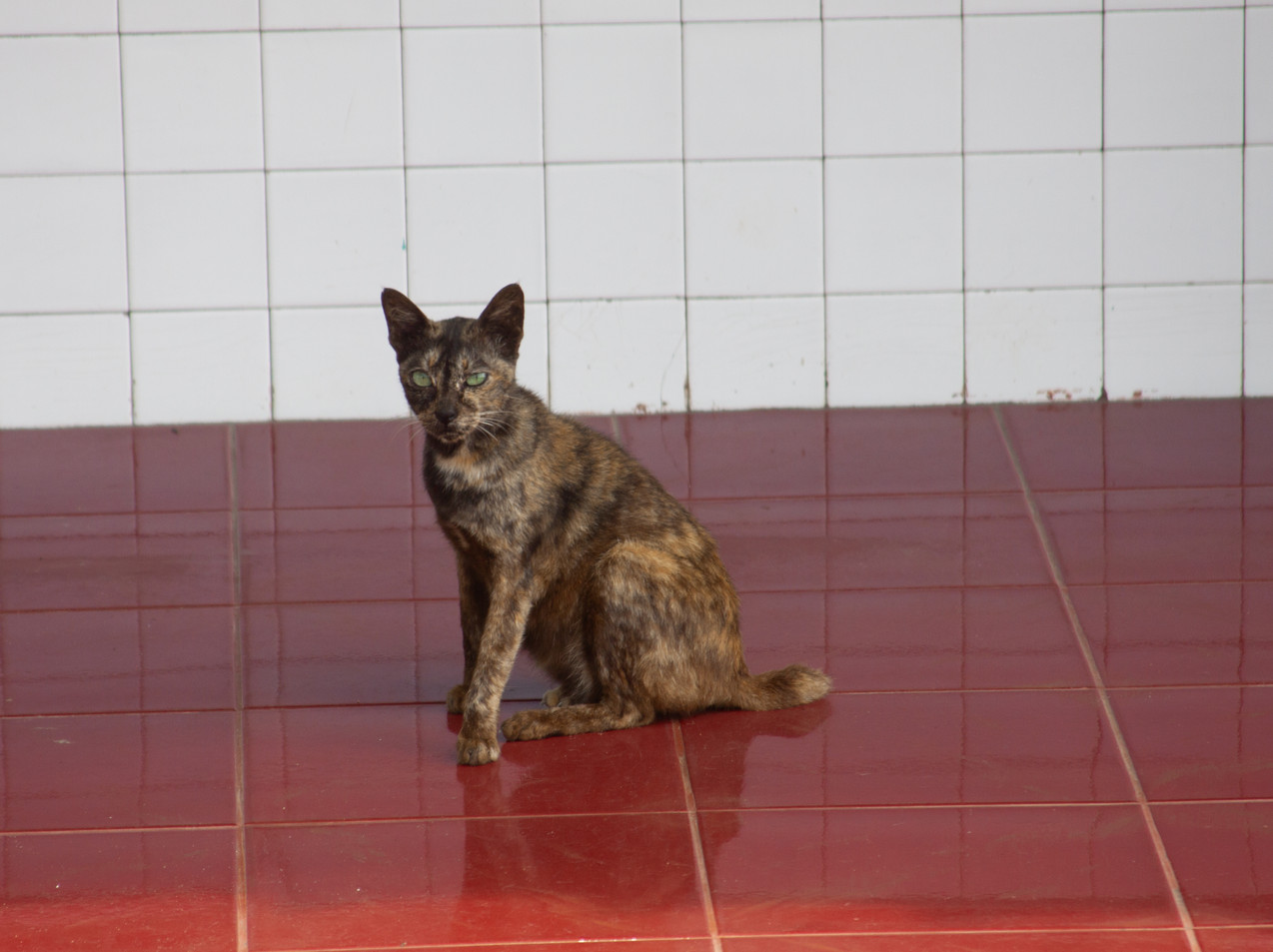 A Pontianak, West Borneo Cat