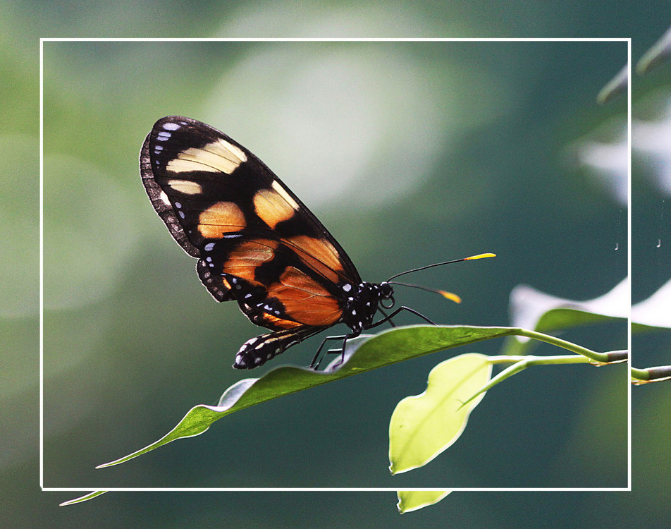Spotted Amberwings