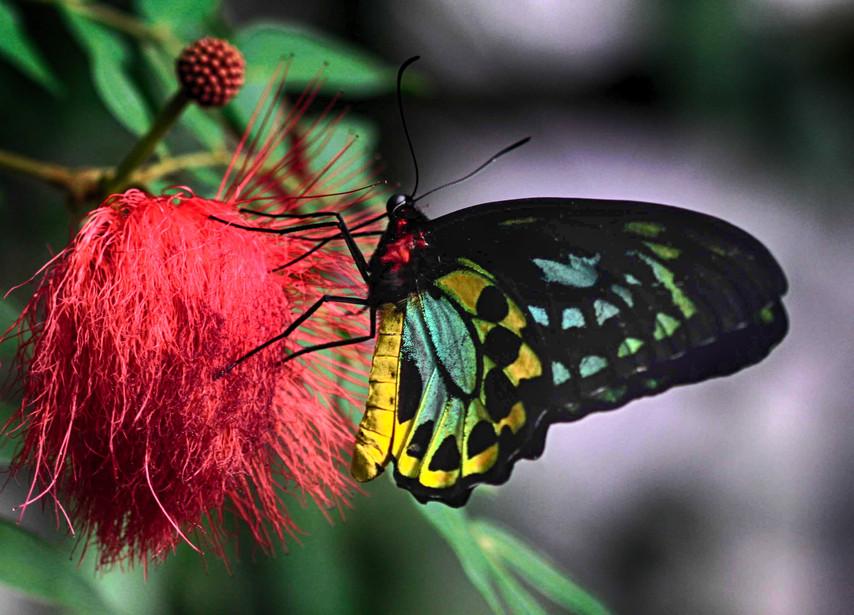 A Birdwing On A Flower
