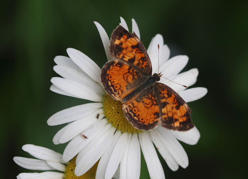A Crescent Butterfly On An Oxeye
