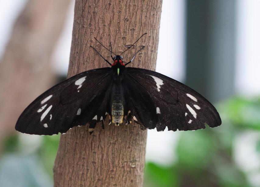 A Birdwing (Dorsal side)