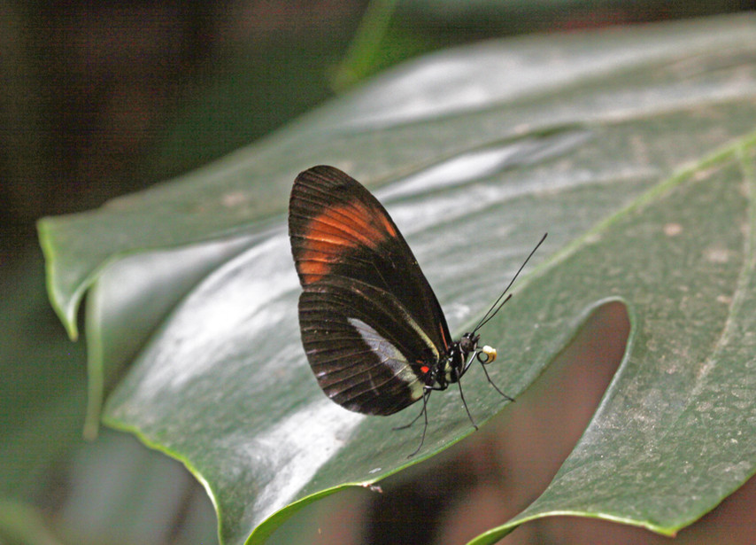 A Longwing With Pollen