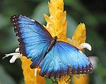 A Blue Morpho Butterfly