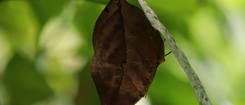 A Hanging Leaf (Ventral side)