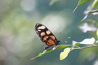 A Spotted Amberwing butterfly.