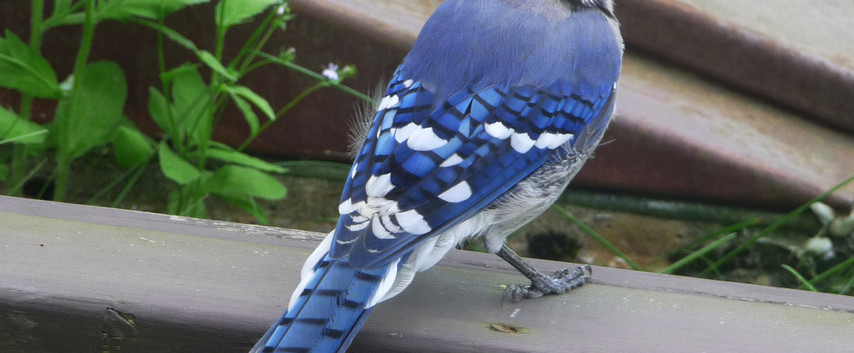 A Handsome Bluejay