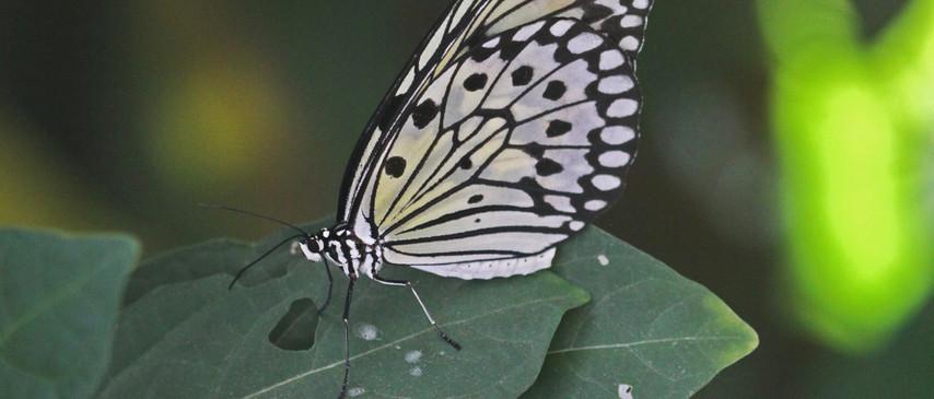 Tree Nymph / Rice Paper / Paper Kite