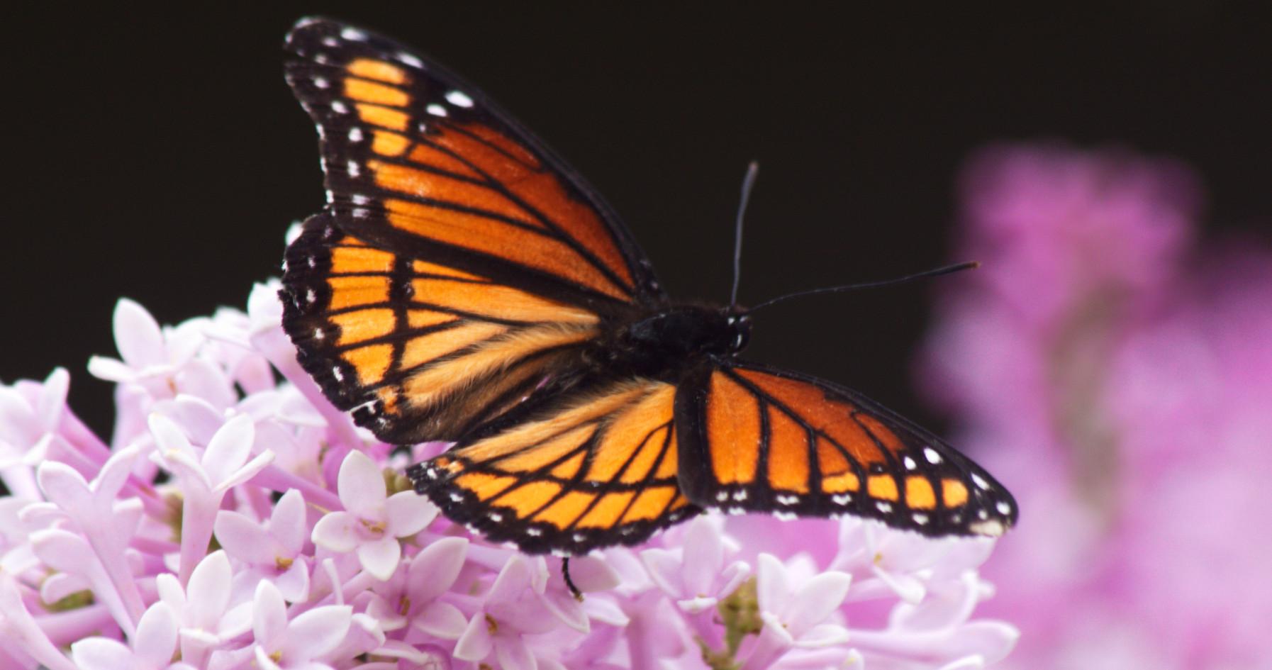 A Monarch Look Alike