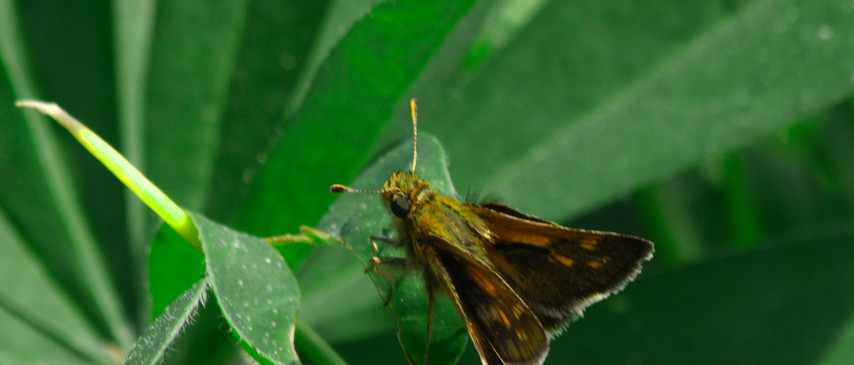 A Skipper Close Up