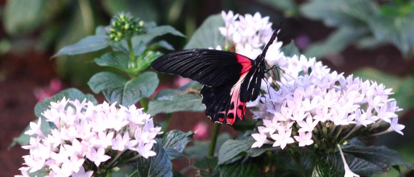 An Ilus Swallowtail