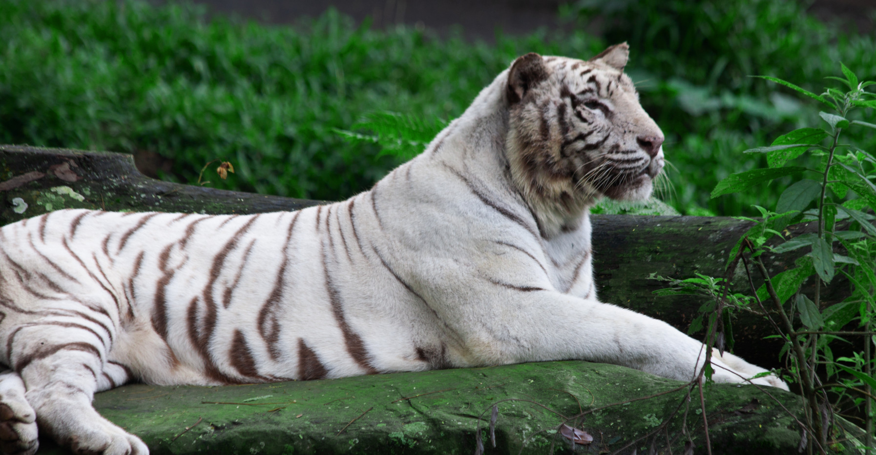 An Albino Tiger