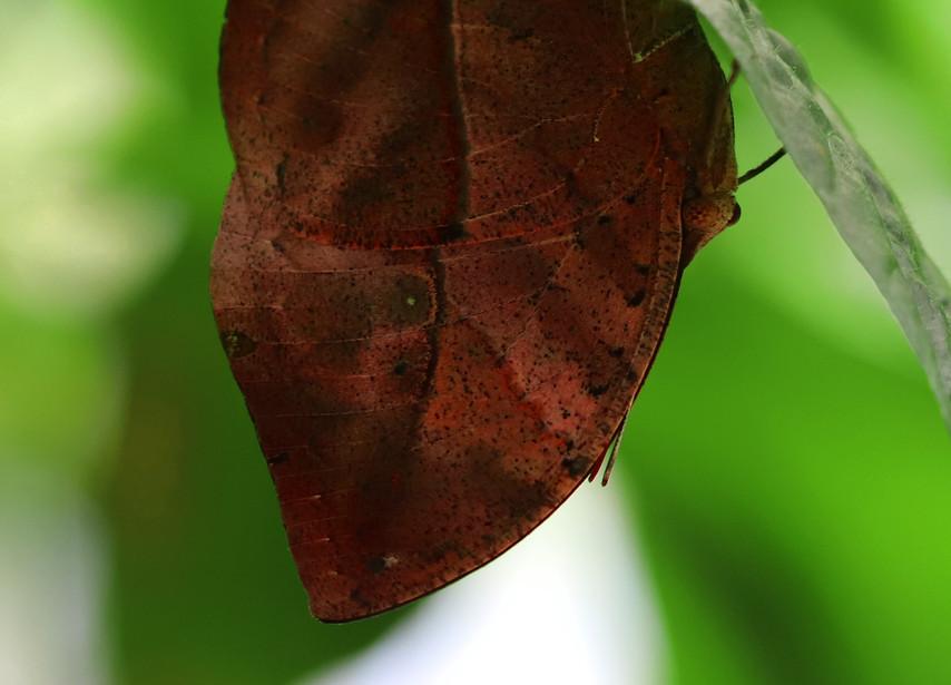 Another Leaf (Ventral side)