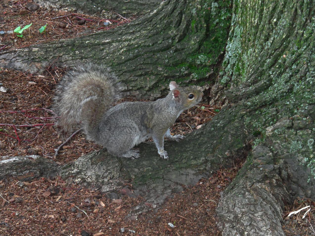 A Gray Squirrel