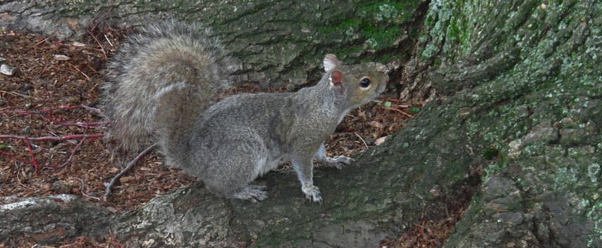A Gray Squirrel