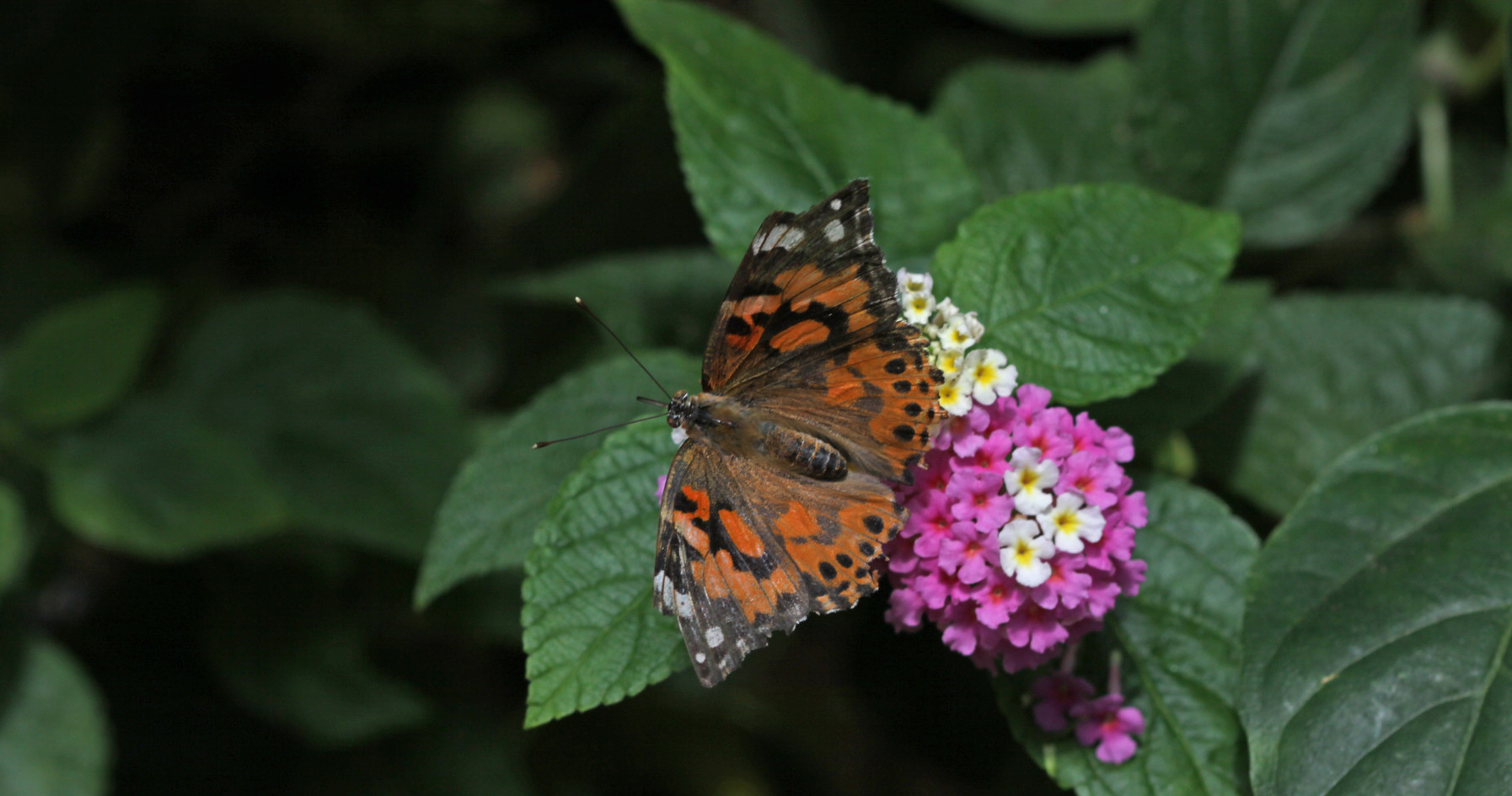 A Beautiful Painted Lady