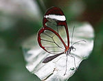 A Glasswimg Butterfly