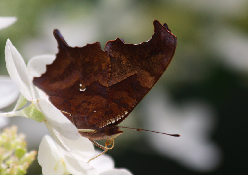 A Comma (Ventral side)