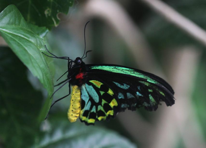A Birdwing In Full Color