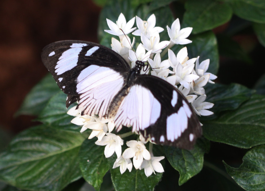 A Mocker On A White Flower