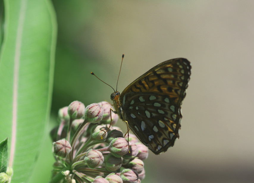 A Fritillary And A Flower