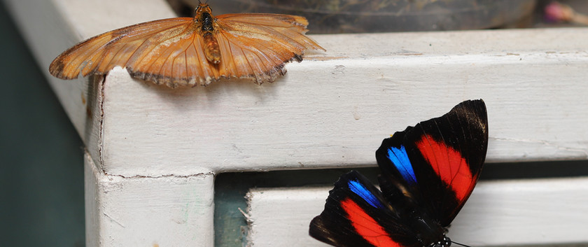The Colors Of The Numberwing And A Friend