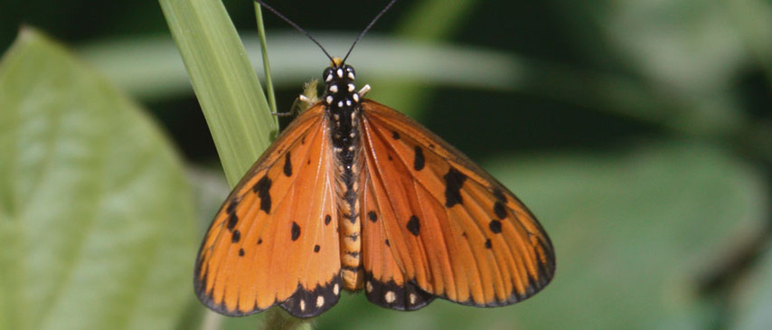 A Tawny Coster