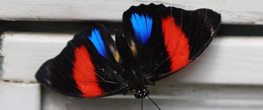 Numberwings or 88 Butterfly