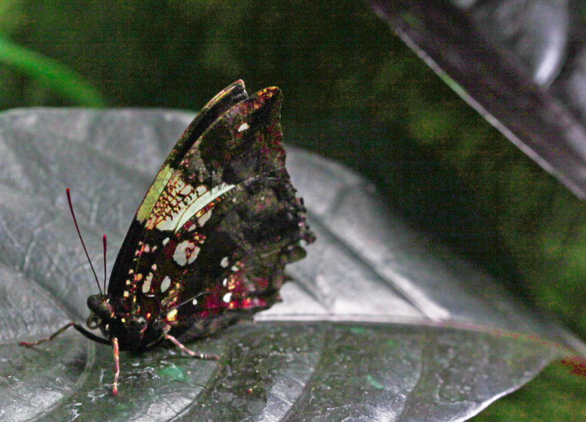 A Leafwing