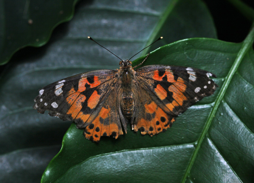 A Handsome Painted Lady