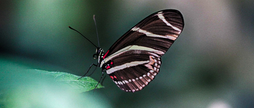 A Longwing In Stripes