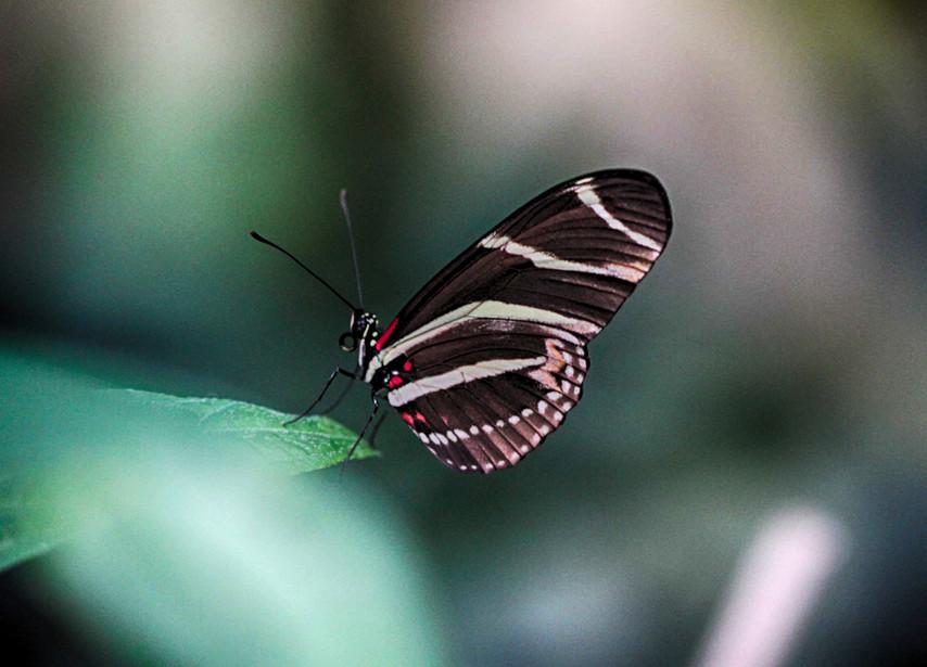 A Longwing In Stripes