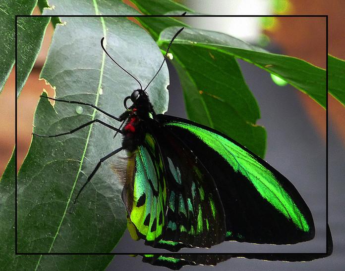 Green Birdwings