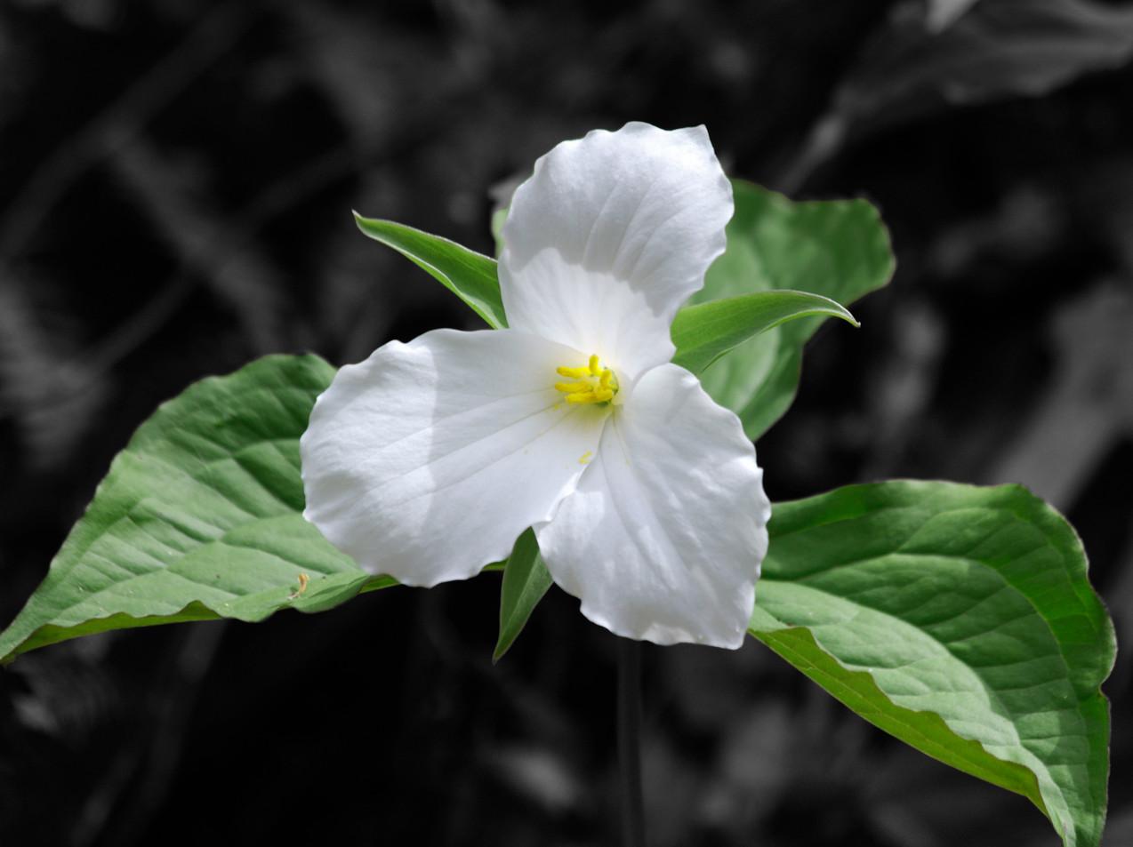 A Beautiful White Trillium