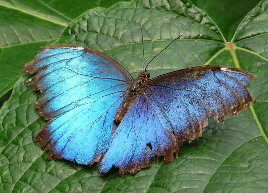A Blue Morpho (Dorsal side)