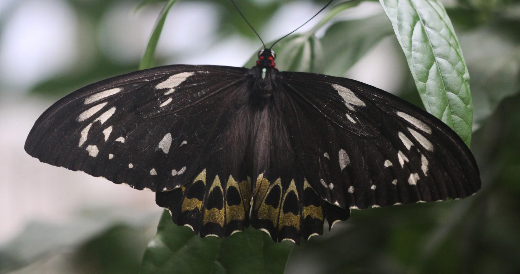 Birdwing (Dorsal view)