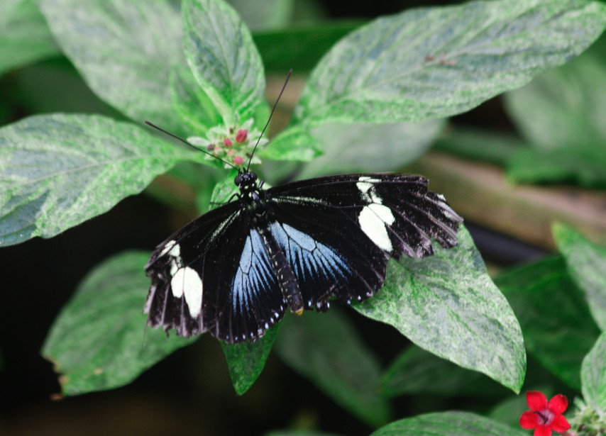 A Grizzled Longwing