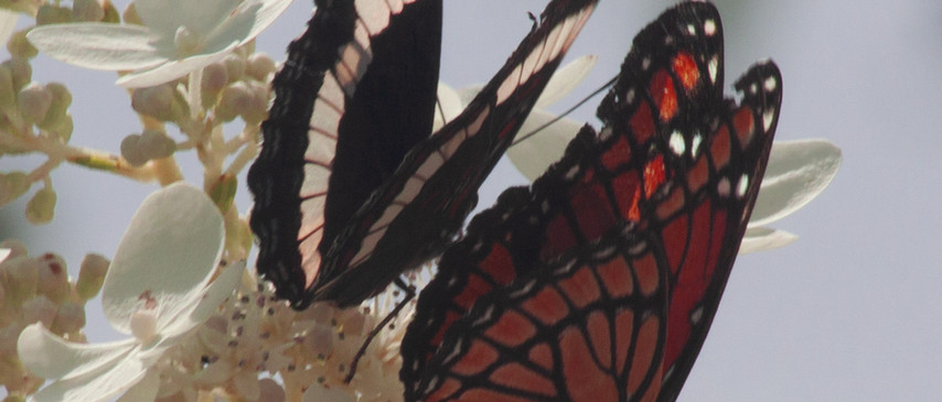 A White Admiral & A Viceroy