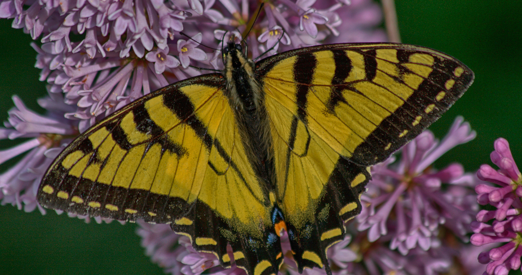 2009_06_17_1584 Tiger Swallowtail CrLe_HDR.jpgA Swallowtail