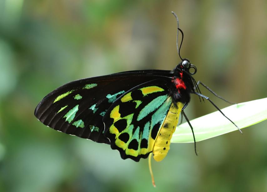 A Ventral Birdwing
