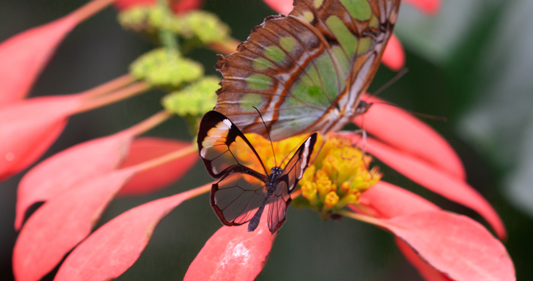 A Glasswing & A Malachite