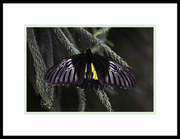 A Golden Birdwing