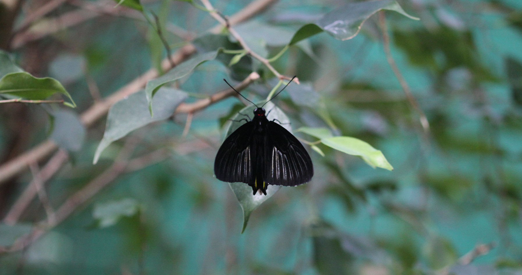 A Golden Birdwing (dorsal view)