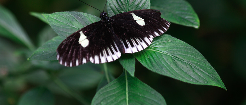 A Dorsal Longwing