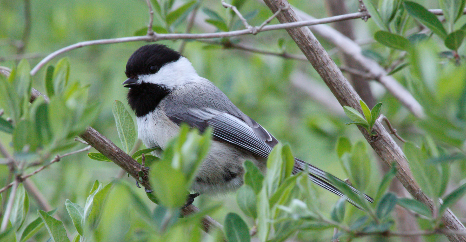 A Pretty Chickadee