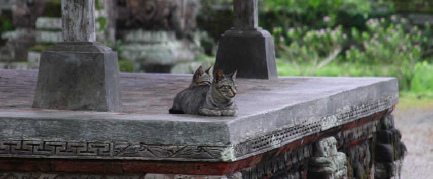 Balinese Temple Cats